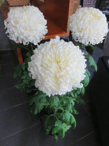 004白菊