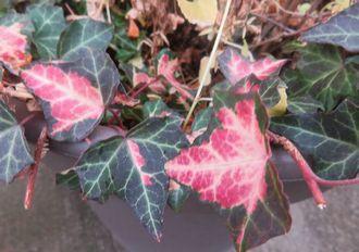 005赤くなった葉