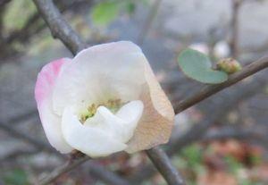 004木瓜の花