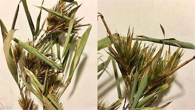 竹は60年に一度花を咲かすK10011775381_1901111933_1901111935_01_02