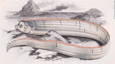 1850年ごろのリュウグウノツカイのイラストoarfish-art-super