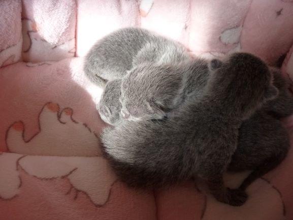 ロシアンブルーの子猫達