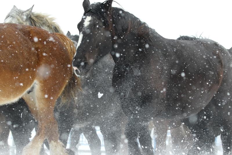 2850 雪中馬追い