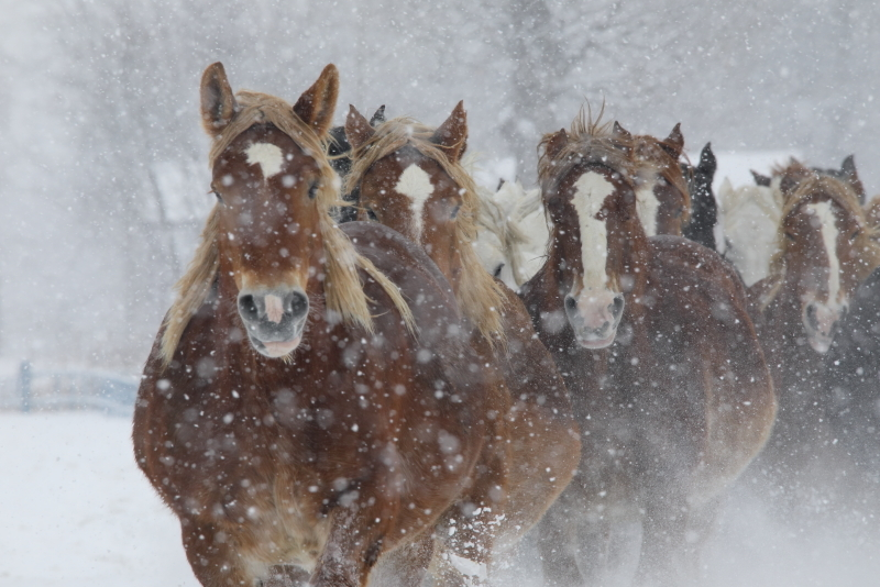 8168 雪中馬追い