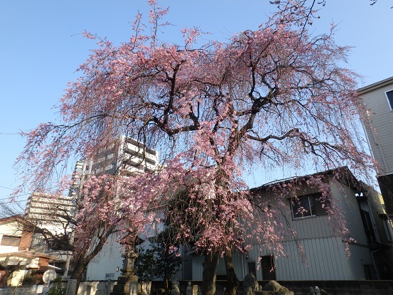 しだれ桜 2
