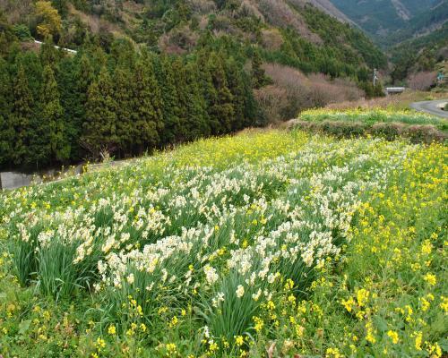 水仙&菜の花