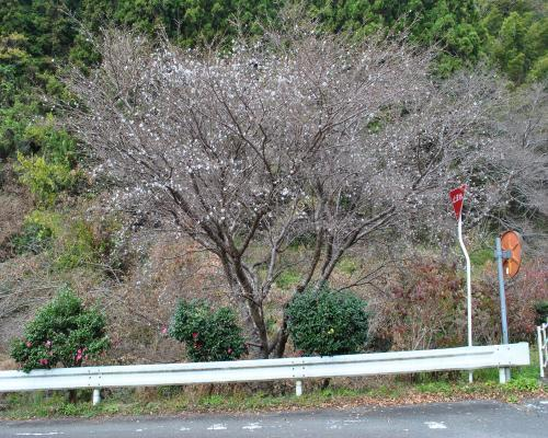 日向谷の寒桜