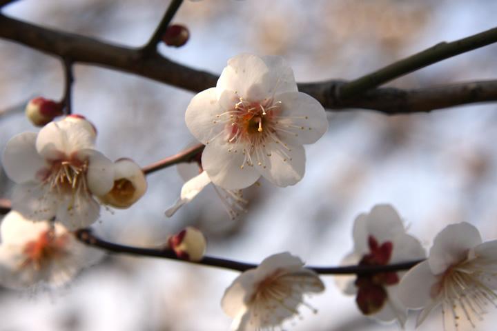 フリー写真 梅の花