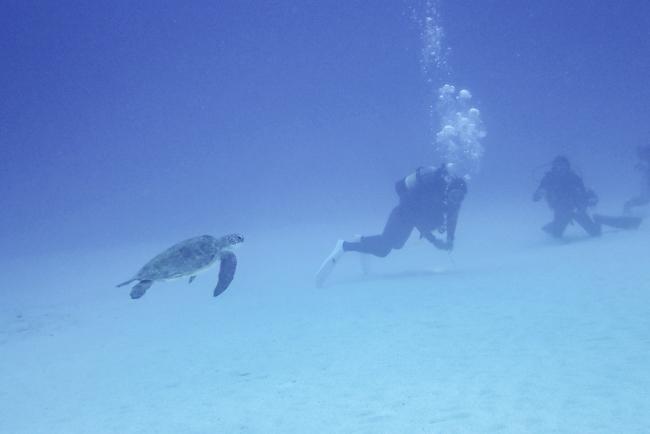 アオウミガメ 水納島