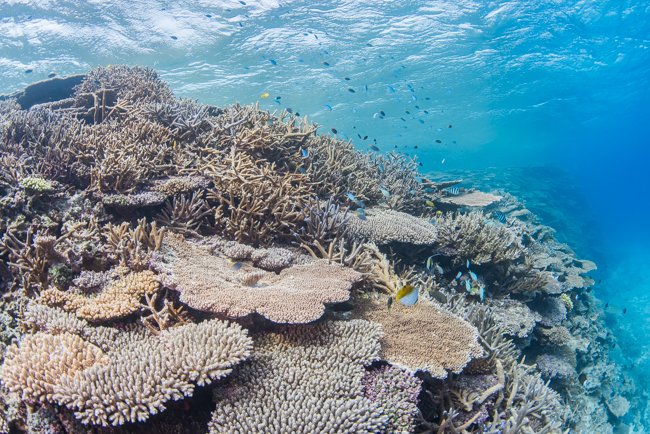 伊平屋島のサンゴ礁③