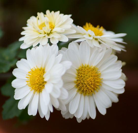 181112白菊