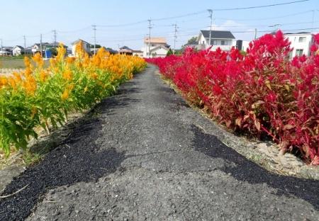 赤黄色の花 2018-10-18 012