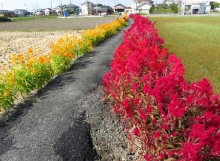 赤黄色の花 2018-10-18 015