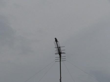 ヒヨドリ 2018-11-08 004