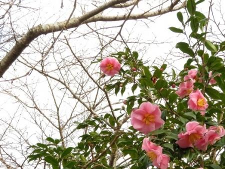 温泉花 2018-12-21 006