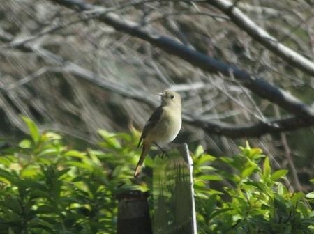 紋付鳥 2019-01-29 007