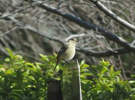 紋付鳥 2019-01-29 008