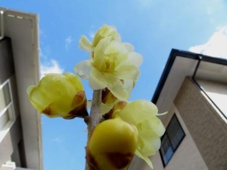 家のロウバイ花 2019-02-01 002
