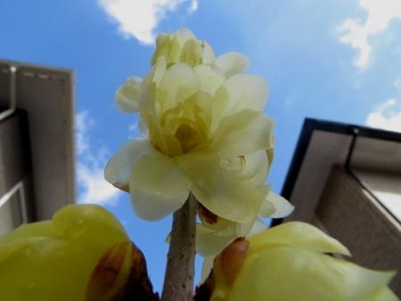 家のロウバイ花 2019-02-01 003