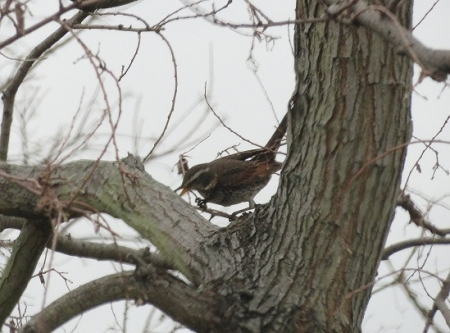 紋付鳥 2019-02-15 004