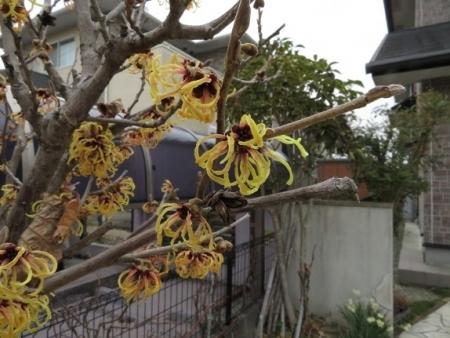 マンサクの花 2019-02-22 002