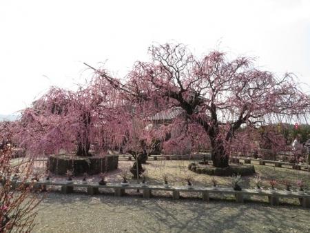 メジロ梅花園 2019-02-26 050