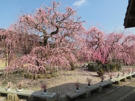 メジロ梅花園 2019-02-26 099