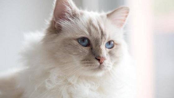 カール・ラガフェルドの猫、シューペット