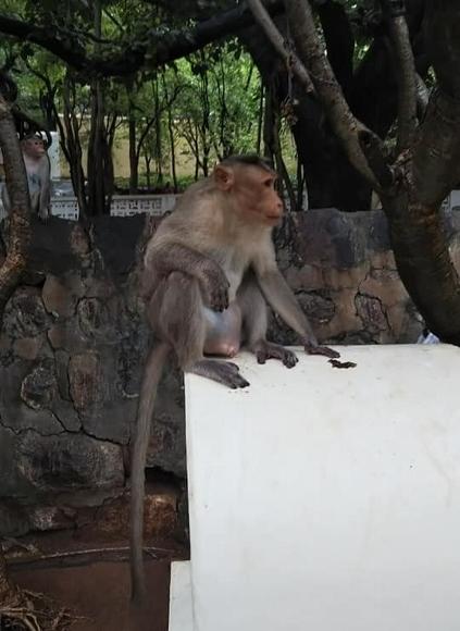 2018.10.7ラマナアシラムの猿2