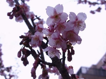2019.1.28熱海桜2