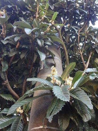 電柱と枇杷の樹