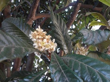 枇杷の花と葉