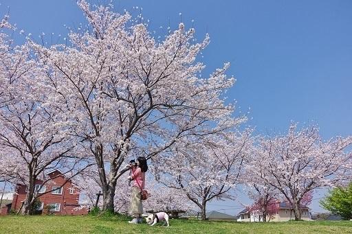 03-21ママの腕の中桜