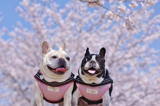 03-21ふるうた桜