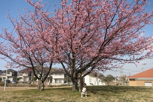 3-21河津桜とうたげ