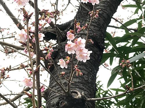 190208 桜