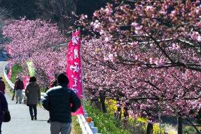 保田川の河津桜