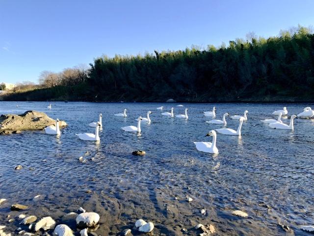 荒川の白鳥 (2)