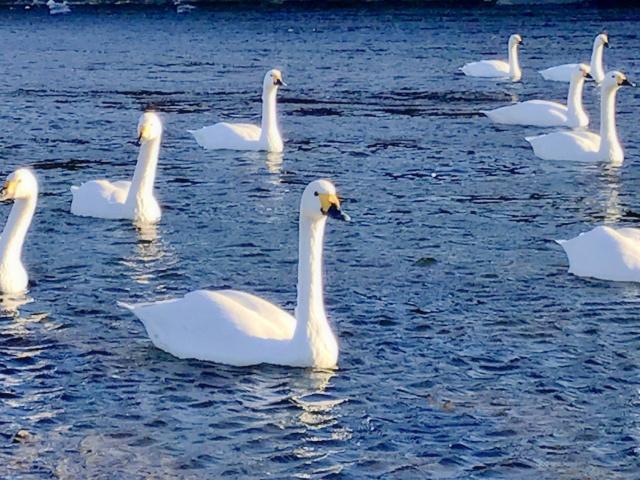 荒川の白鳥 (4)