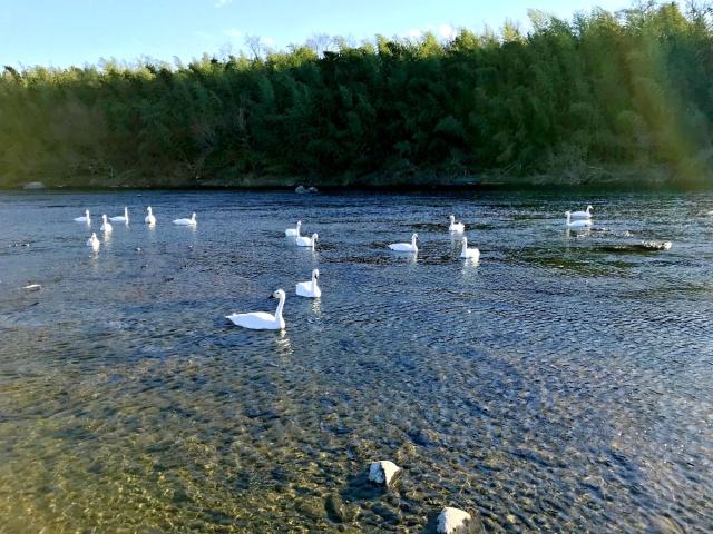 荒川の白鳥 (5)