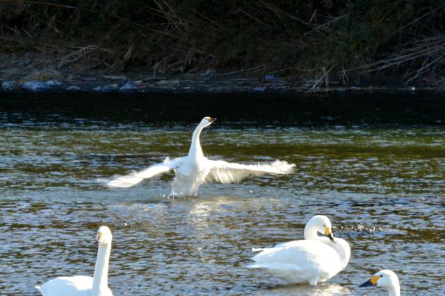 荒川の白鳥 (6)