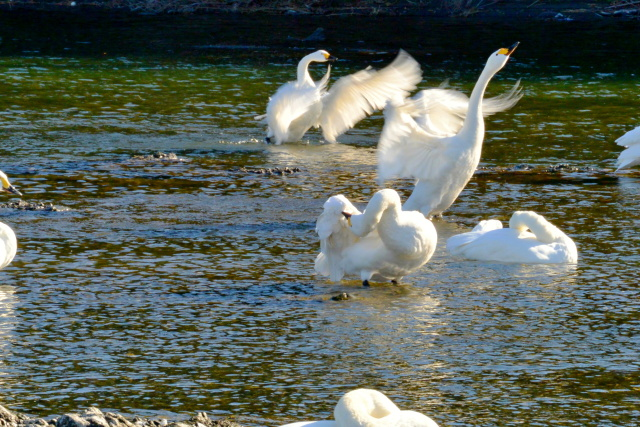荒川の白鳥 (7)