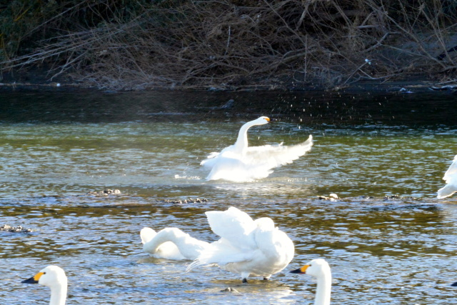 荒川の白鳥 (8)