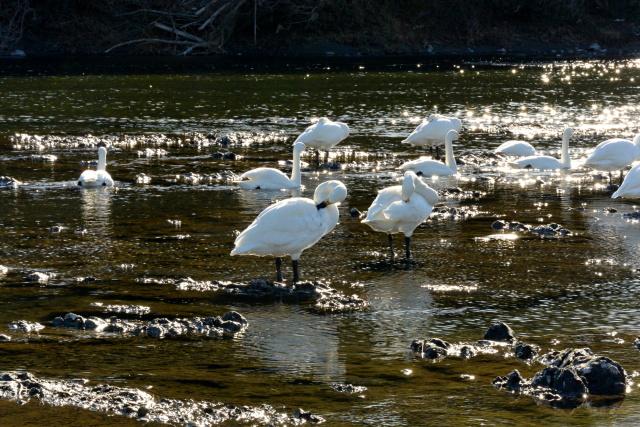 荒川の白鳥 (9)