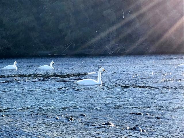 荒川の白鳥 (11)