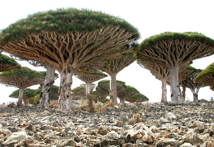 Socotra_dragon_tree.jpg
