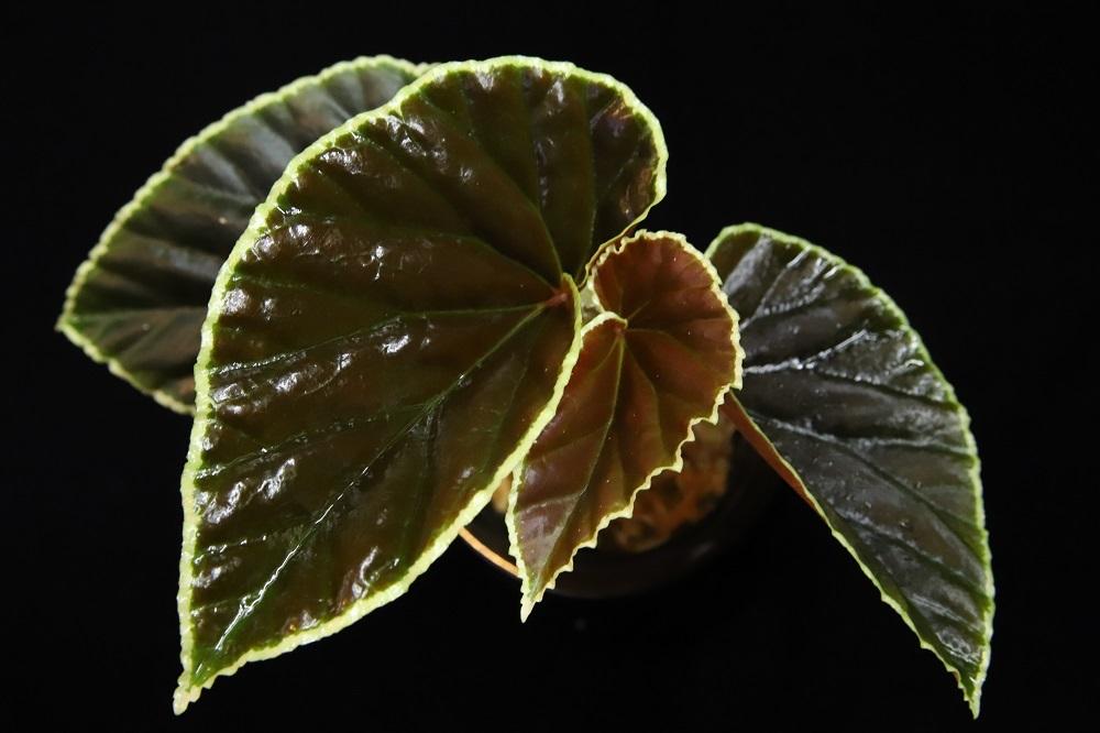 ベゴニア ダースベイダリアーナ[Begonia darthvaderiana Sarawak]