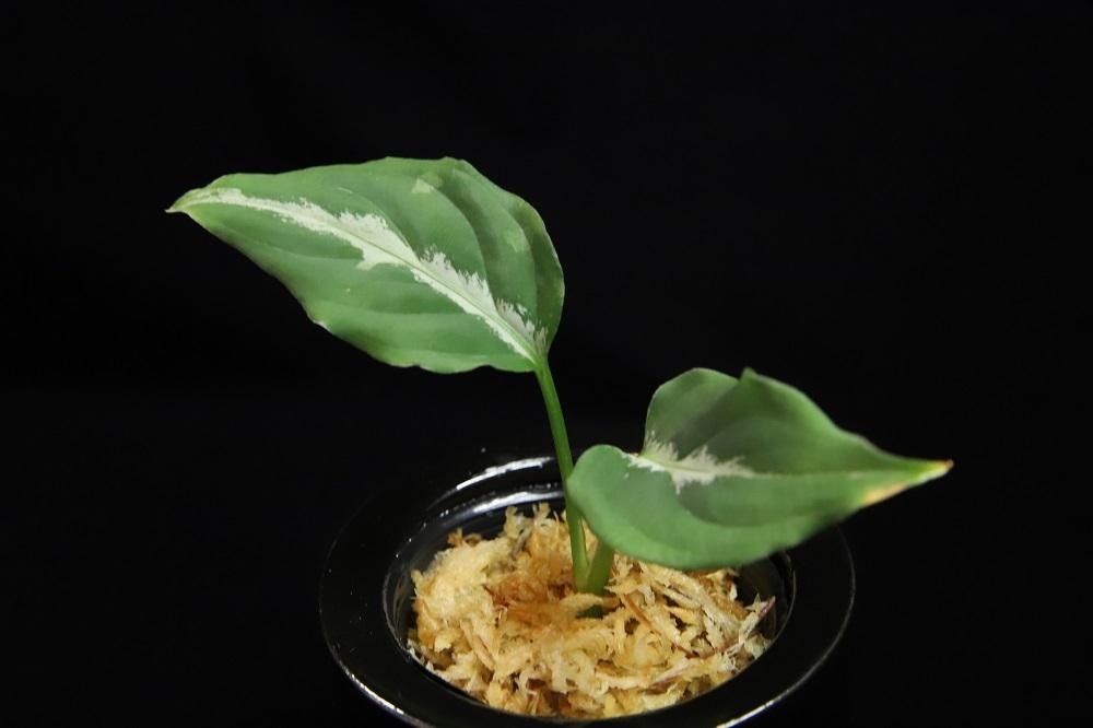 アグラオネマ ピクタム クロノス[Aglaonema pictum