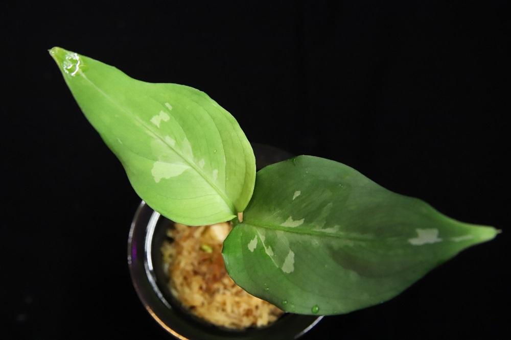 アグラオネマ ピクタム from アチェスマトラ[Aglaonema pictum from Aceh Sumatra] TZ便[ネームド予定]
