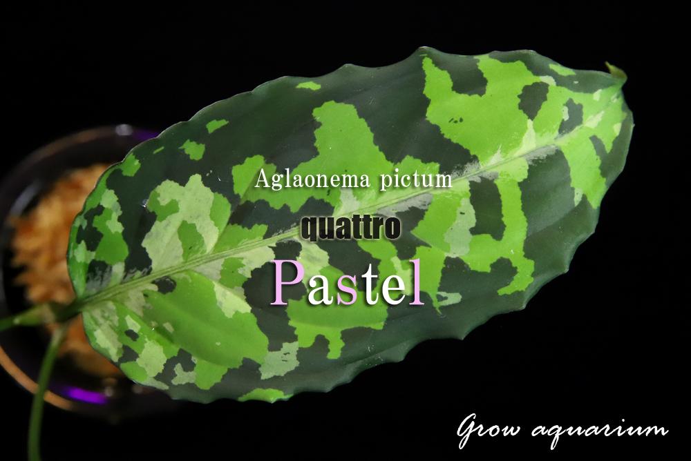 アグラオネマ ピクタム クワトロ パステル[Aglaonema pictum quattro Pastel]